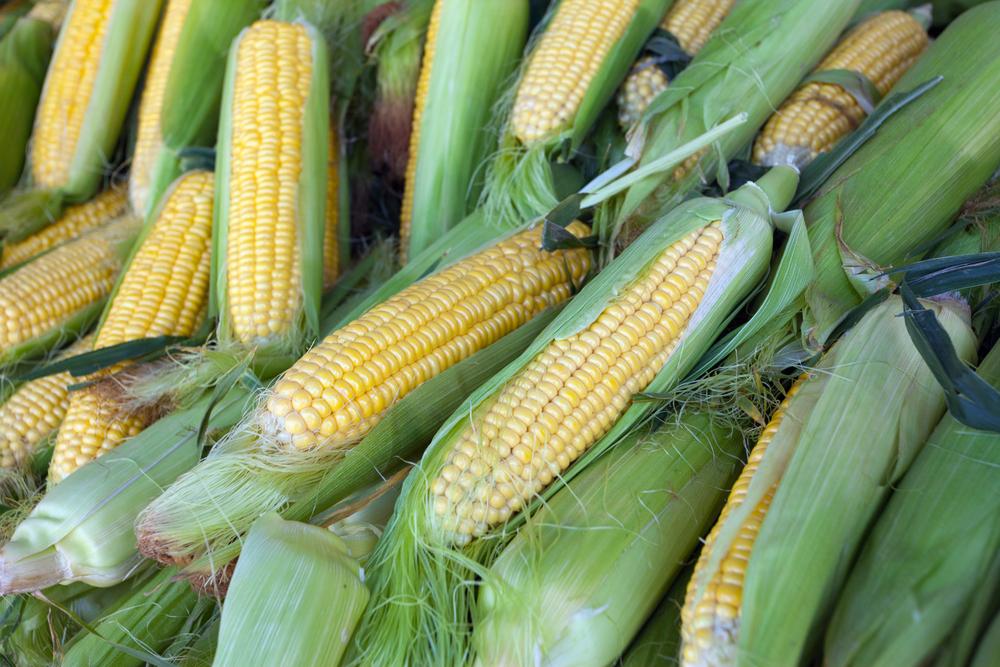 Freshly Harvested Corn