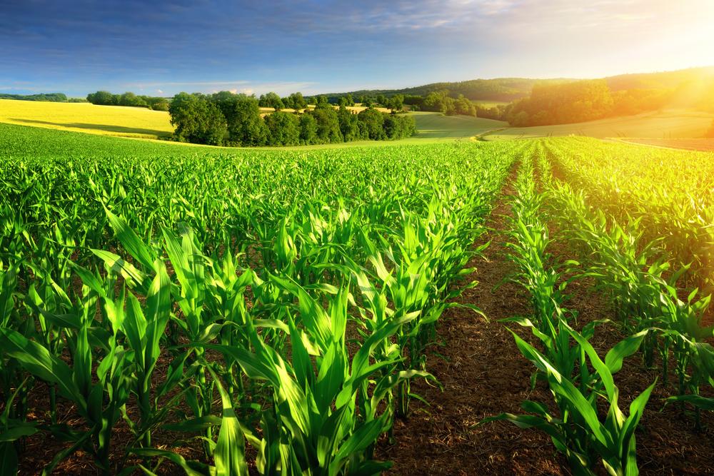 Beautiful Organic Corn